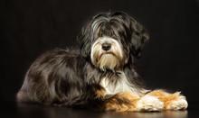 Tibetan Terrier  Dog  Isolated  On Black Background In Studio