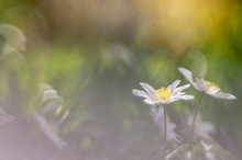 Springtime, The Perfect Season To Photograph Wood Anemones - Anemone Nemorosa