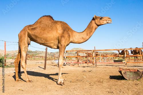 Poster Chameau camels in desert
