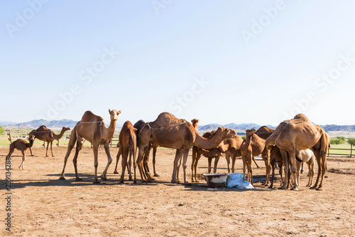 Spoed Foto op Canvas Marokko camels in desert