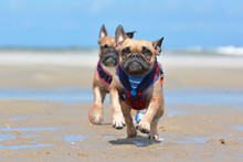 Two French Buldog Dogs With Maritime Harness Playing And Running Towards The Camera On Beach