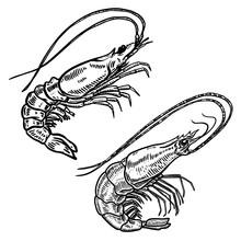 Illustration Of Shrimp In Engr...