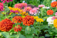 Zinnia Flowers In The Garden I...