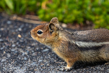 Chipmunk Standing On Paved Roa...