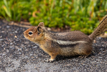 Stripy Chipmunk Out On Road In Summer