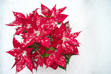 Christmas Poinsettia Flower Isolated: Red Petals And Falling Snowflakes On White Snow Background. Merry Christmas And Happy New Year Concept. Floral Border