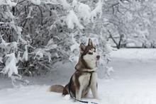 Husky Dog Sitting In The  Snowy Park. Domestic Animal. Blue Eyes.