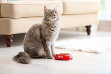 Adorable Maine Coon Cat Near B...