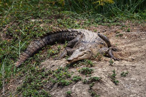 American crocodile, Ecuador