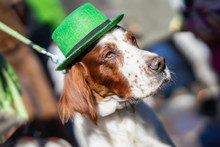Portrait Of Pretty, Lovely Dog Close-up In Green Irish Hat, Saint Patrick Day Holiday. St.Patrick S Day