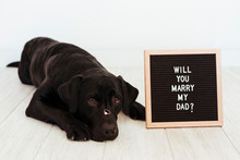 Black Labrador Dog Lying On The Floor With A Weeding Ring On His Nose And Vintage Letter Board With Message: Will You Marry My Dad? Wedding Concept.Pets Indoors