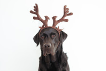 Closeup Portrait Of A Beautiful Black Labrador With Brown Reindeer Horns. White Background. Pets Indoors Christmas Concept
