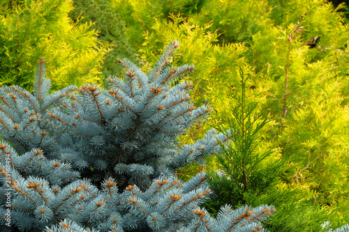 Foto  Blue spruce and green cypress in garden store