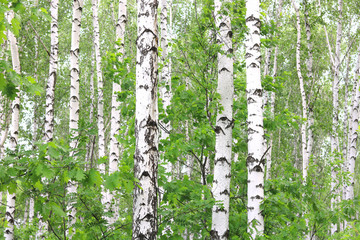 Fototapeta Optyczne powiększenie Beautiful birch trees with white birch bark in birch grove with green birch leaves