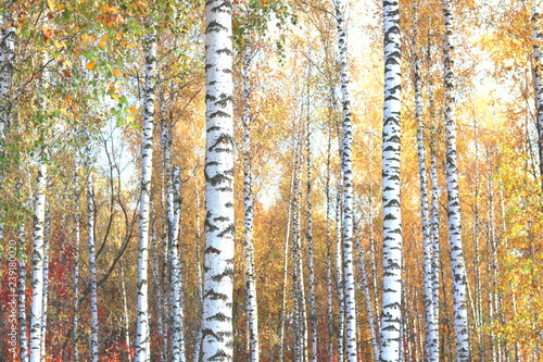 Cadres-photo bureau Bosquet de bouleaux beautiful scene with birches in yellow autumn birch forest in october among other birches in birch grove