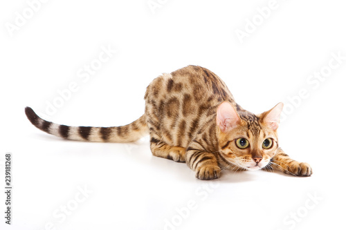 Red Bengal Cat Kitten plays (isolated on white) Wallpaper Mural