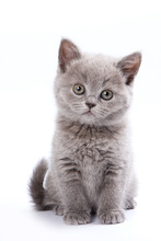 Gray British Cat Kitten (isola...