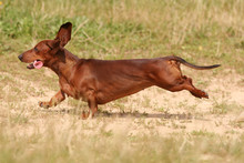 Red Dachshund Running In The G...