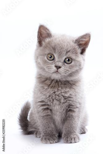 Fototapeta Gray British cat kitten (isolated on white) obraz
