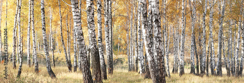 Spoed Foto op Canvas Bomen beautiful scene with birches in yellow autumn birch forest in october among other birches in birch grove