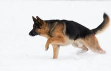 German Shepherd Dog In Winter