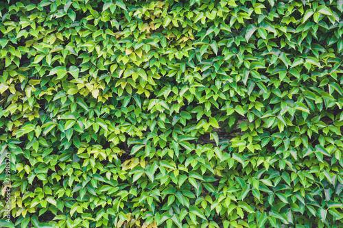 Vertical Garden Green Leaves Wall Texture Natural Green Leaf