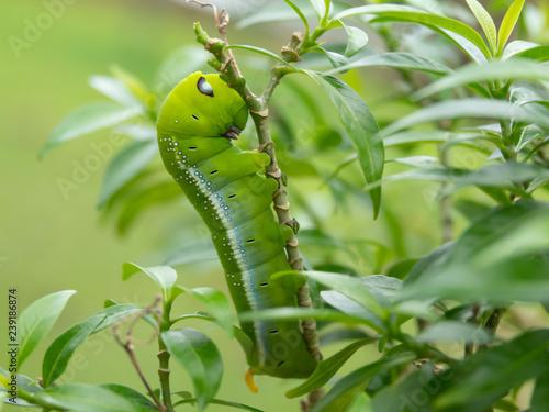 Fotografía  Beautyful green caterpillar with blue and white eyespots