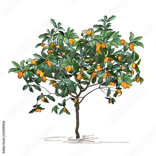 Fotografie, Tablou Tree a kumquat (Fortunella Swingle L.) with mature fruits