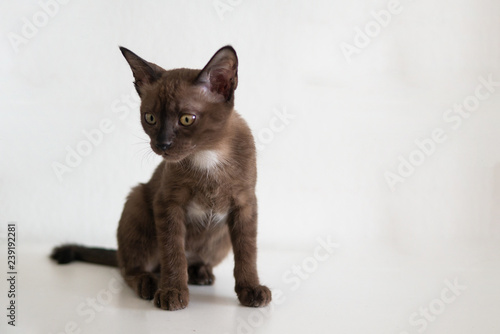 Chocolate kitten cat on white wall background facial