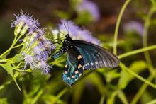 Pipevine Swallowtail Butterfly (Battus Philenor)