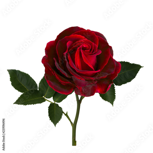 Bright red rose with green leaves