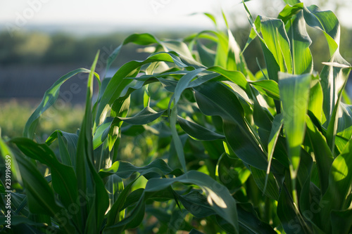 Fotografia  young corn bushes in a field