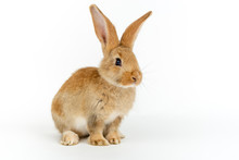 Cute Young Baby Flemish Giant Rabbit, Colour Sand, Isolated On White Background.