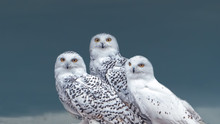 A Charismatic Family Of Snowy Owls (Bubo Scandiacus) Fromed By A Couple And A Chick. Native To Arctic Regions In North America And Eurasia.