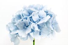Blue Hydrangea Flower On White...