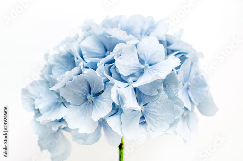 Montage in der Fensternische Hortensie Blue hydrangea flower on white background.