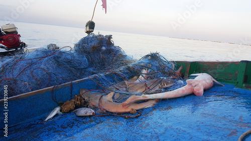 Fototapeta premium Ryby Rekin złowił sieć rybną na łodzi