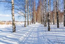 Ski Run In A Winter Birch Forest Sunny Day Cross Country Ski Trails
