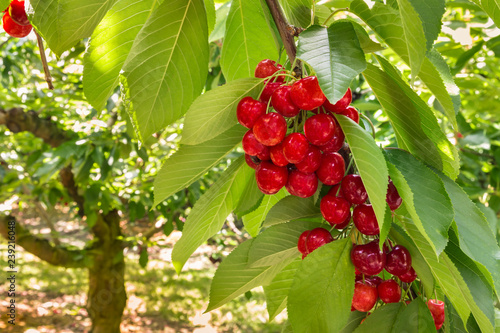 cherry tree with ripe red cherries in cherry orchard
