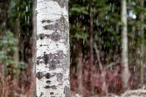 Close up of an Aspen tree in a snow storm