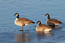 Canada Geese (Branta Canadensis), A Flock On Ice Of A Freezing Lake, Iowa, USA