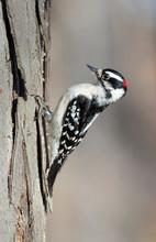 Downy Woodpecker (Dryobates Pubescens) Male Feeding On A Tree Trunk, Iowa, USA