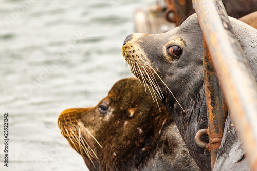 Fotografie, Obraz  soft gray sealion with scars looks up at camera