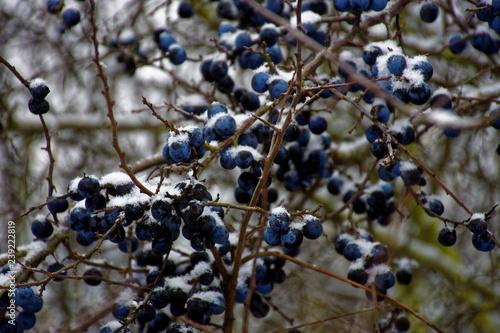 Valokuvatapetti frozen sloe berries in winter