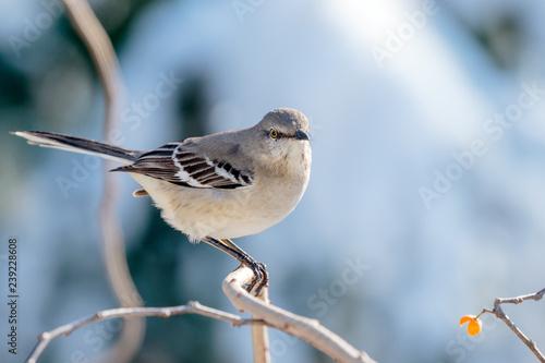 Mocking Bird - 239228608