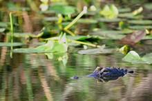 Florida Alligator In Swampy Everglades