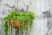 Ornamental Hanging Plant, Million Heart Plant Or Dischidia Ruscifolia Decne In Coconut Fiber Husk Pot Hanging On Cement Wall Background, Copy Space