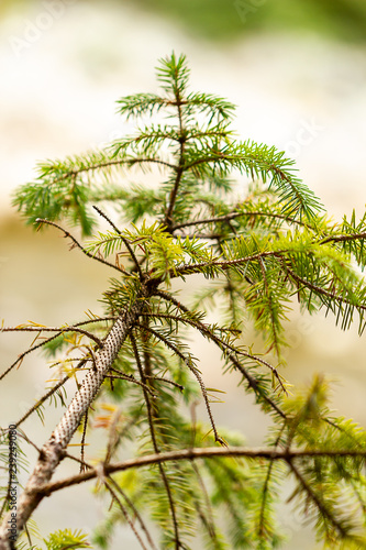 Fotografija  tiny details of forest tree with green needles