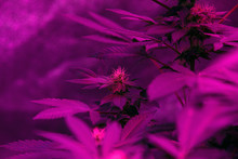 Cannabis Plant Bud In Indoor With Led Light