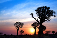 Quiver Trees Forest Silhouette On Bright Sunset Sky Background, Magnificent African Landscape In Keetmanshoop, Namibia